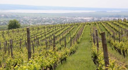 Wine Tours in Dragasani vineyard and its grape varieties