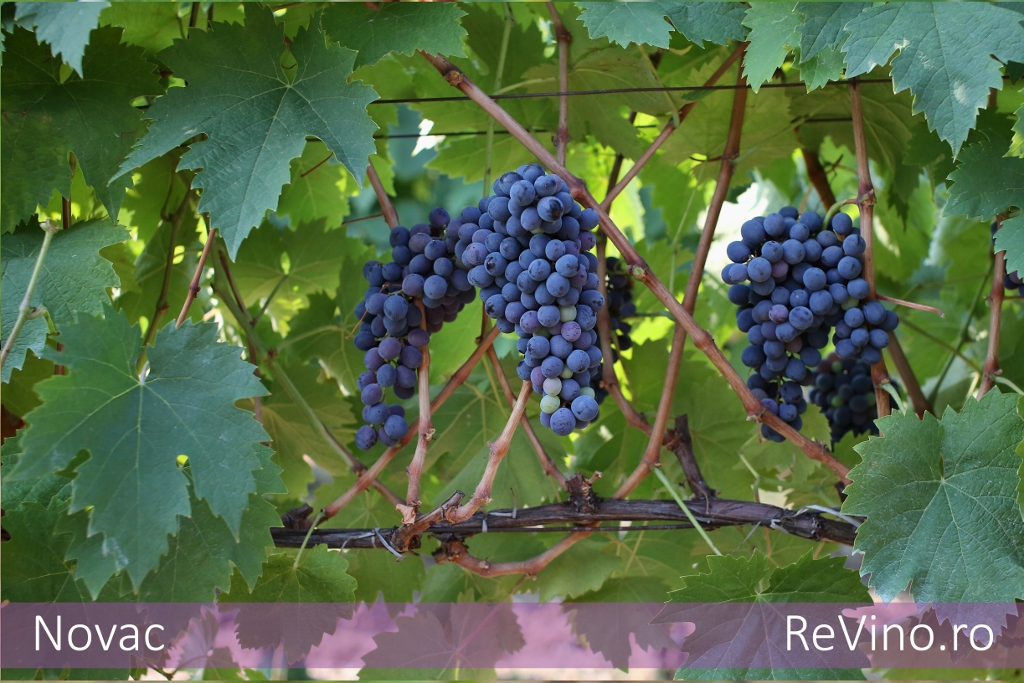 Novac grape varieties - Romanian cherry tree varieties ...
