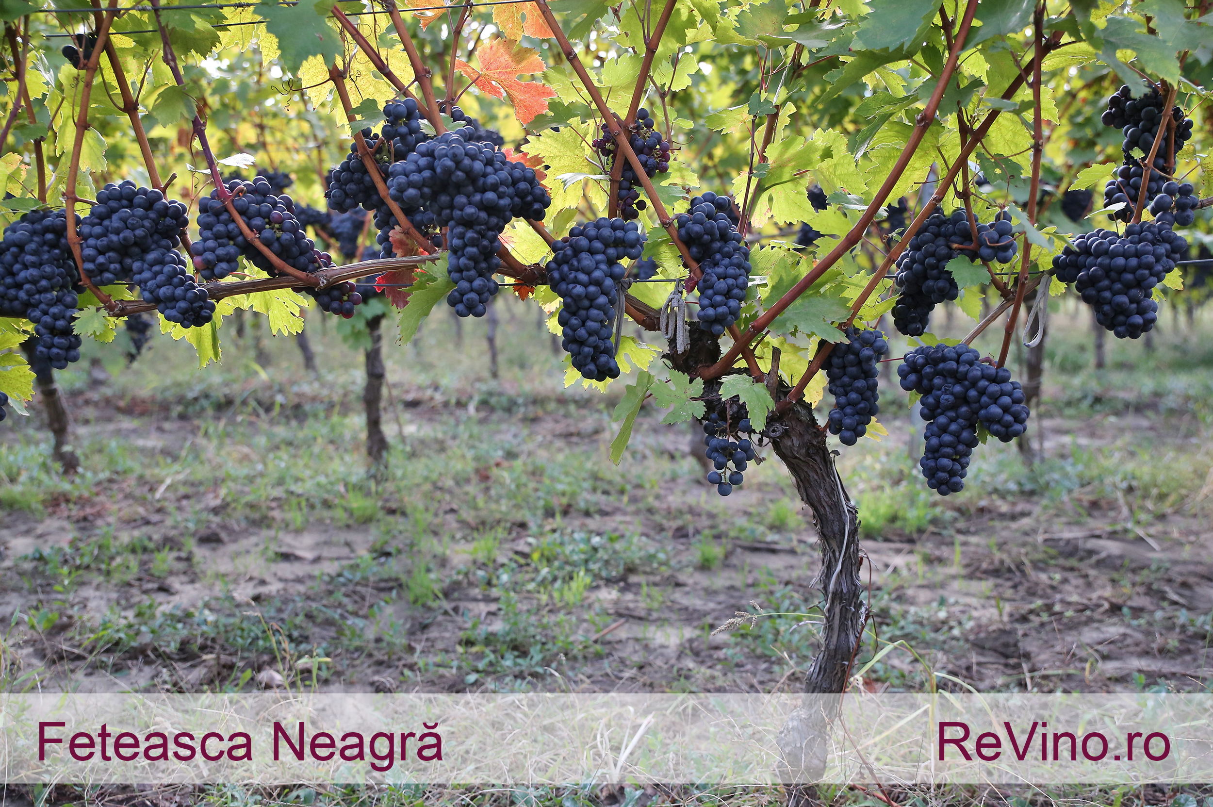 Feteasca Neagra Grape